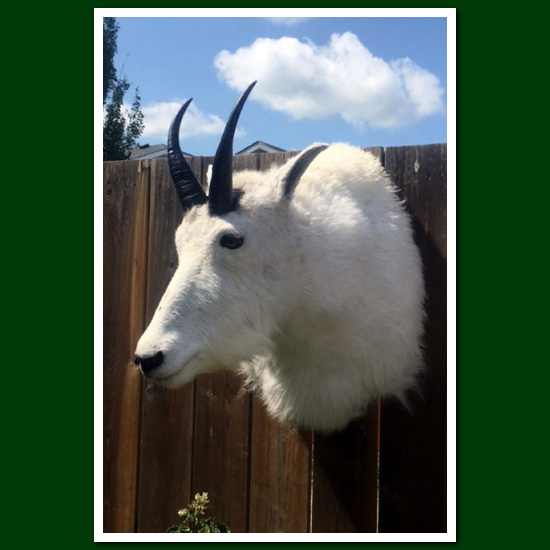 Mountain goat head mount